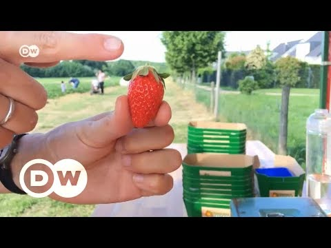Клубника в Германии: сам плати – сам работай, или Как мы ягоды на немецком поле собирали