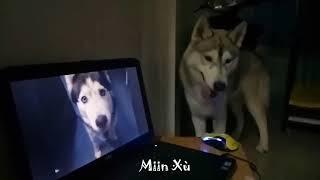 Husky | Ngáo ơi là ngáo mà :))