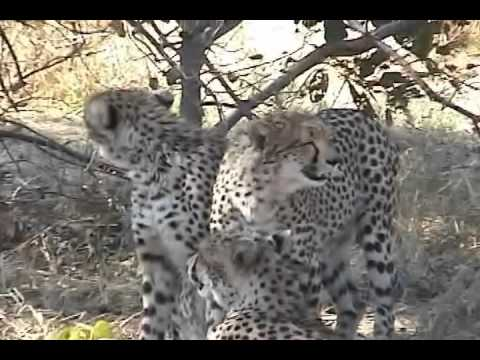 Moremi Wildlife Reserve Cheetahs clean themselves after losing their kill to a lioness.