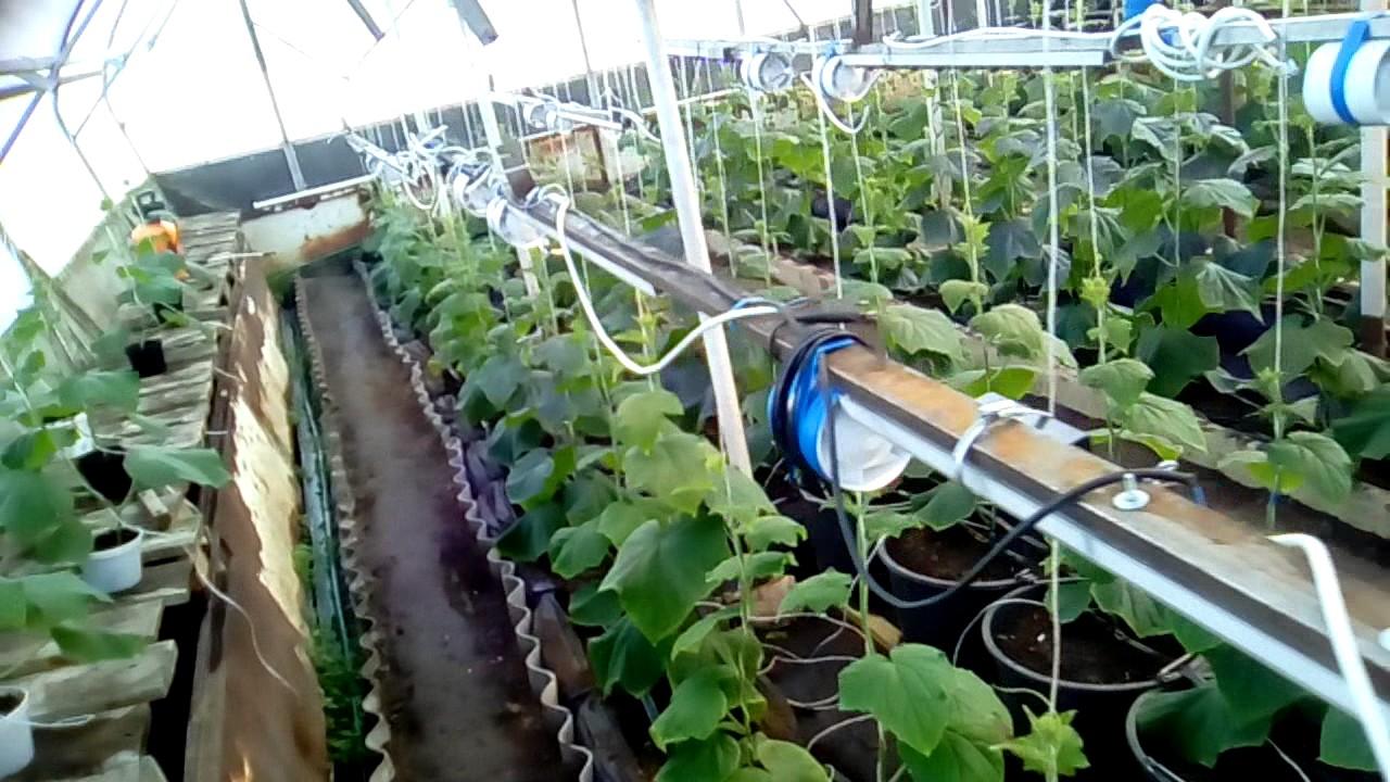 Выращивание огурцов в теплице зимой из поликарбоната 69