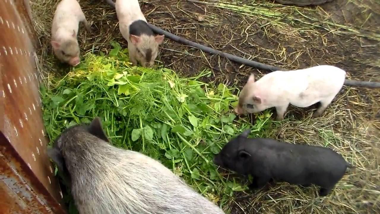 Выращивание поросят на траве 56