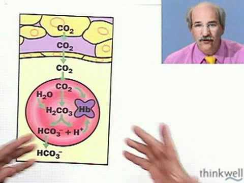Biology  Carbon Dioxide Transport