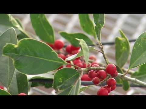 Potentially Toxic Holiday Plants