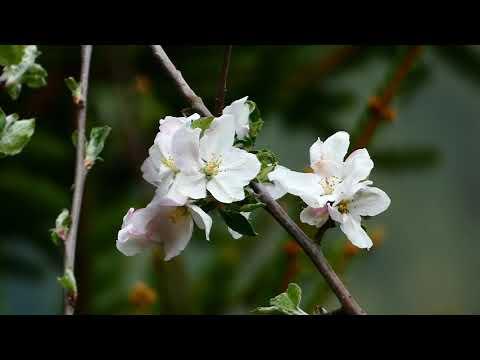 Äpfel (Malus domestica) Blüte. Virtueller Rundgang durch die schönsten Gärten. Zu Hause bleiben