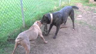 North Texas Bandog