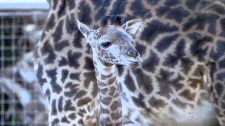 Baby Giraffe Runs and Plays at the San Diego Zoo