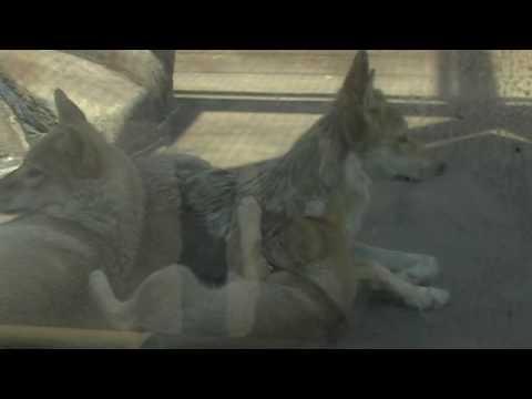 チュウゴクオオカミの赤ちゃん@天王寺動物園 Birth of  Chinese Wolf's Babies