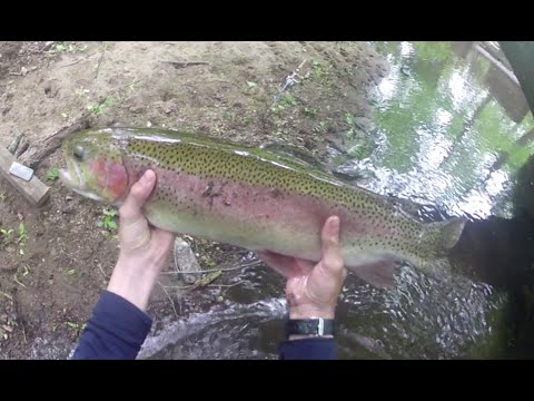 GIANT 26 inch Rainbow Trout in 1 Foot of Water!!!