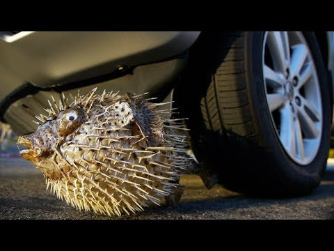 Crushing Giant Porcupine PUFFER FISH By Car Tire Satisfying thumbnail