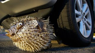 Crushing Giant Porcupine PUFFER FISH By Car Tire Satisfying