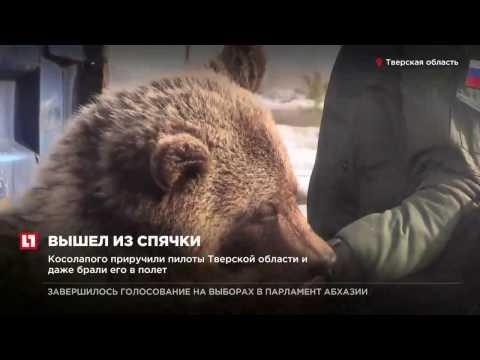 Медвежонок Мансур, живущий на аэродроме, окончательно проснулся и вышел погулять