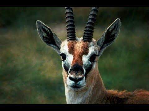 6 Такие забавные антилопы