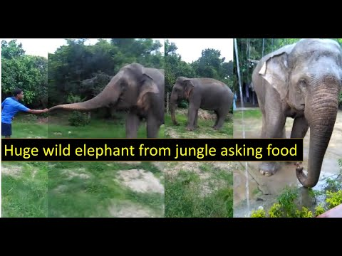 Huge Wild elephant asking food ! giant srilankan elephant came from jungle to ask foods 2019