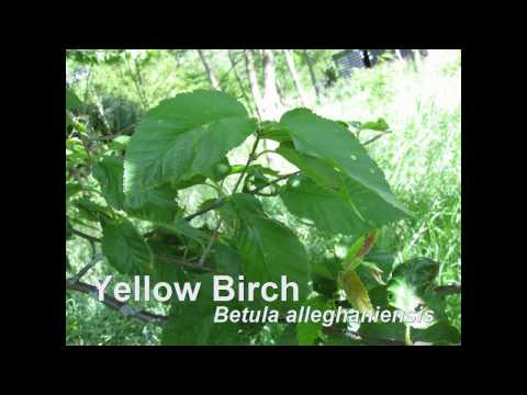 Tree Identification Type A Species Tree Test - Fleming College