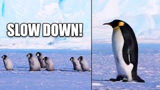 Ozzy Man Reviews: Penguin Excursion