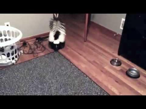 Skunk vs Water Bottle