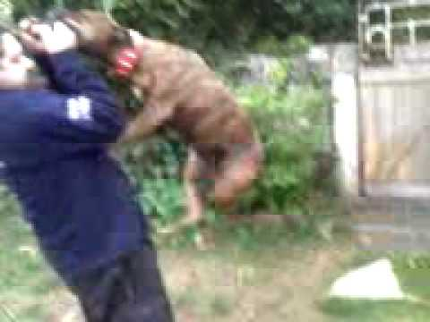 My TV Moments - Rottweiler vs pit bull, Brujo vs Bali (jugando/playing