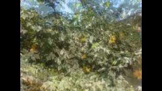 boton de oro (Tithonia diversifolia) cerca  viva forraje apiarios y ornamental venta de semilla.