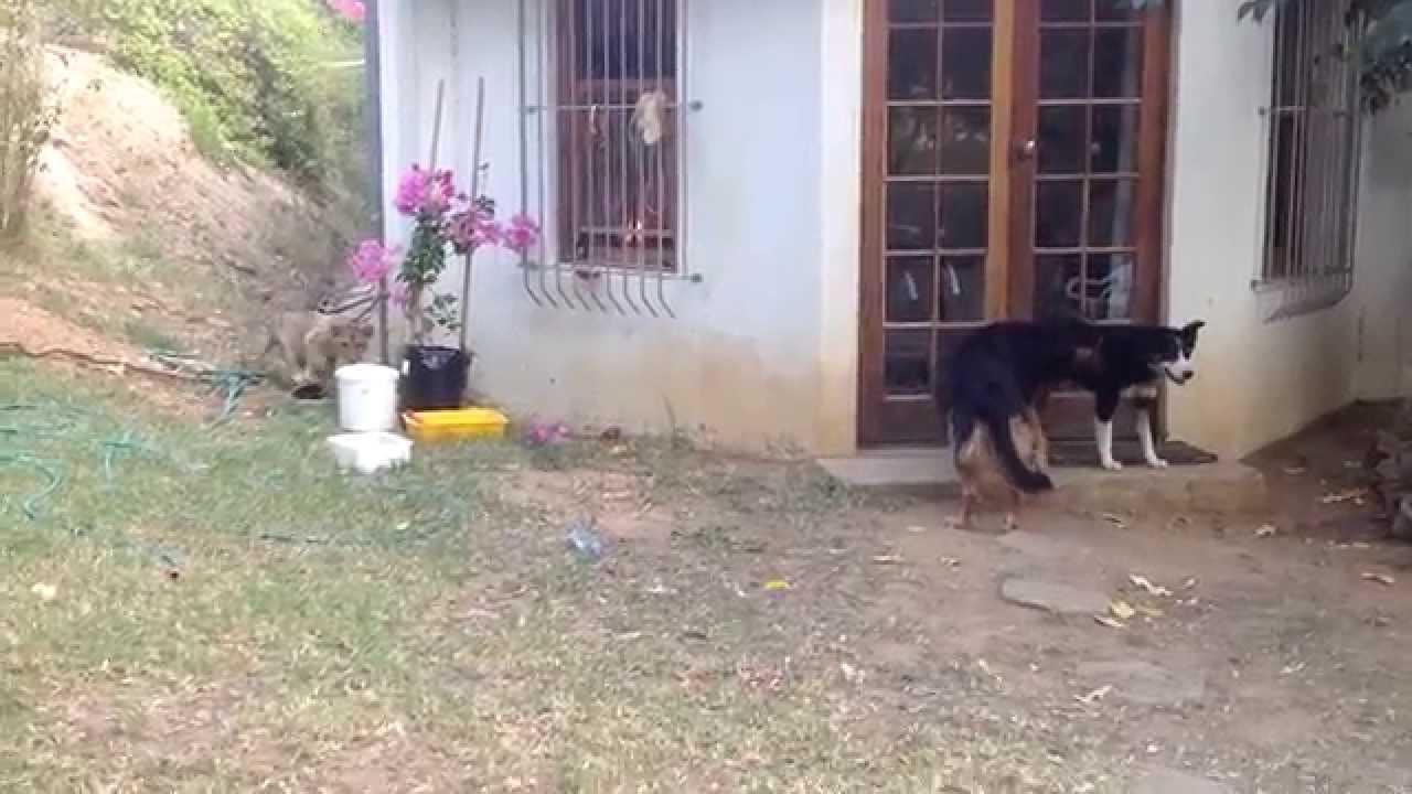 Un lionceau effraie un chien