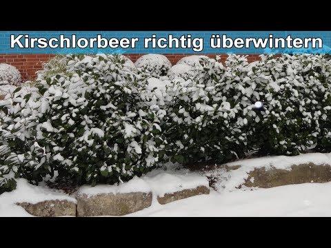 Kirschlorbeer im Garten richtig überwintern – Lorbeerkirsche vor Frost / Winter schützen - Anleitung