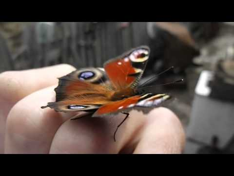 Beautiful butterfly. The sound of the wings.