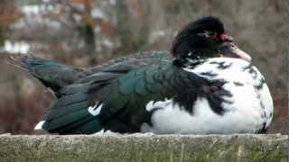 Muscovy Duck - January 13, 2013