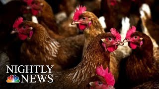 Are Backyard Chicken Coops Causing Salmonella Outbreaks? | NBC Nightly News