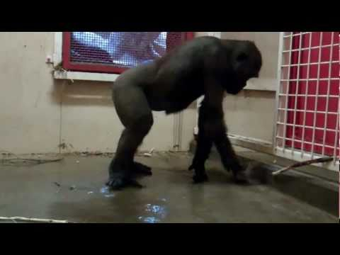 The Break Dancing Gorilla