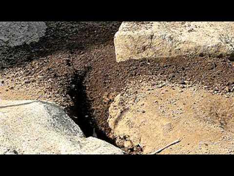 穴を掘るプレーリードッグ。Prairie dog that digs up hole.
