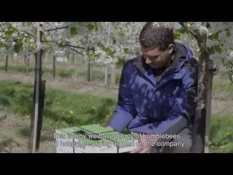 Natural pollination with Tripol in cherry crop