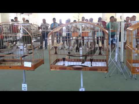 Trinca Ferro Canibal 239 Cantos   Campeão No Torneio Em Florianópolis   Dia 23 12 2012 video