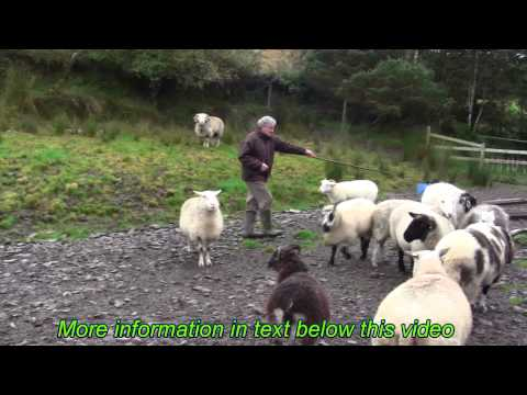 Sheep identification at Kells - Ireland