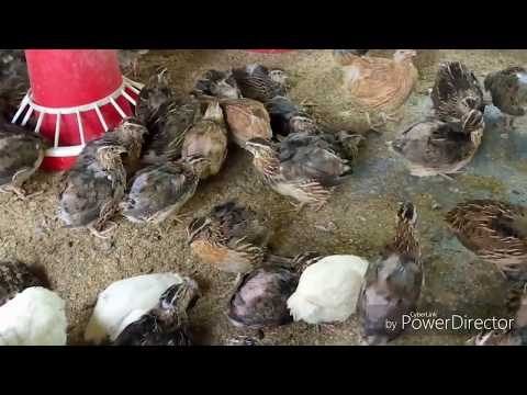 Sex of Quail bird || breeding of quail bird || Quail Firm in Assam thumbnail