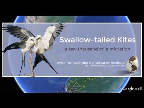 Swallow-tailed Kite Migration - Google Earth Flyover
