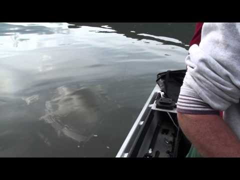 Monster Sturgeon 1000 lb! Jumps in the boat scary as hell. 1 of 2