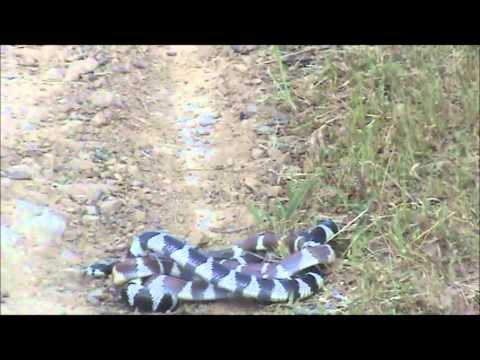 King Snakes Mating