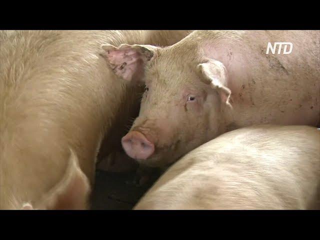 Африканская чума свиней разоряет фирмы в городе близ границы с КНДР
