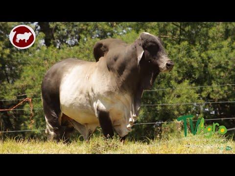 Bienestar Animal en una Central de Reproducción Bovina - TvAgro por Juan Gonzalo Angel