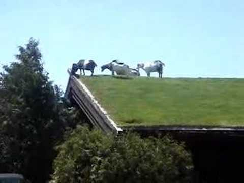 Goats On The Roof At Sister Bay Wisconsin Near Green Bay
