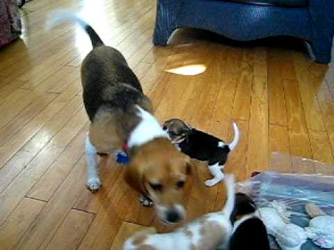 Beagle Puppies Playing with Mom - YouTube