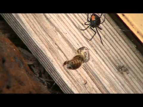 redback spider killing a bee