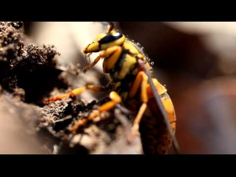 This video is a macro video of a hornet with dew drops on its back.  You can hear the hornet chewing