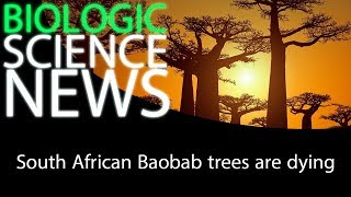Science News - South African Baobab trees are dying