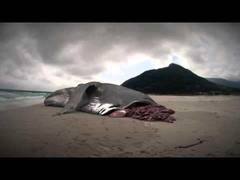 Megalodon: The Monster Shark Lives: Whale Attacked by Megalodon? - YouTube