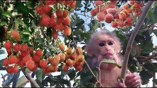 Baby Monkey Doo / Morning Exercise With Rambutan Tree - Funny Animals