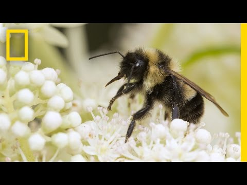 Saving Bumblebees Became This Photographer's Mission | Short Film Showcase
