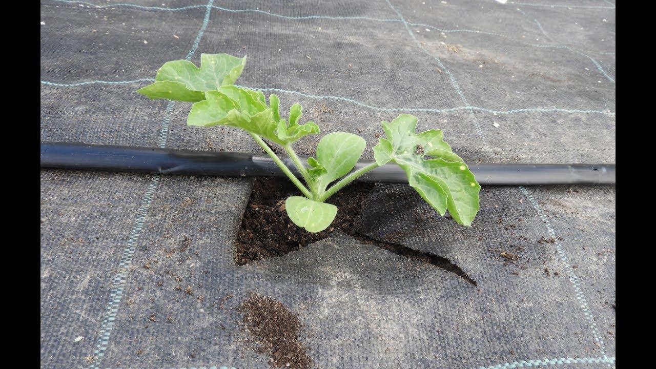 Как высаживать рассаду дыни в грунт 159