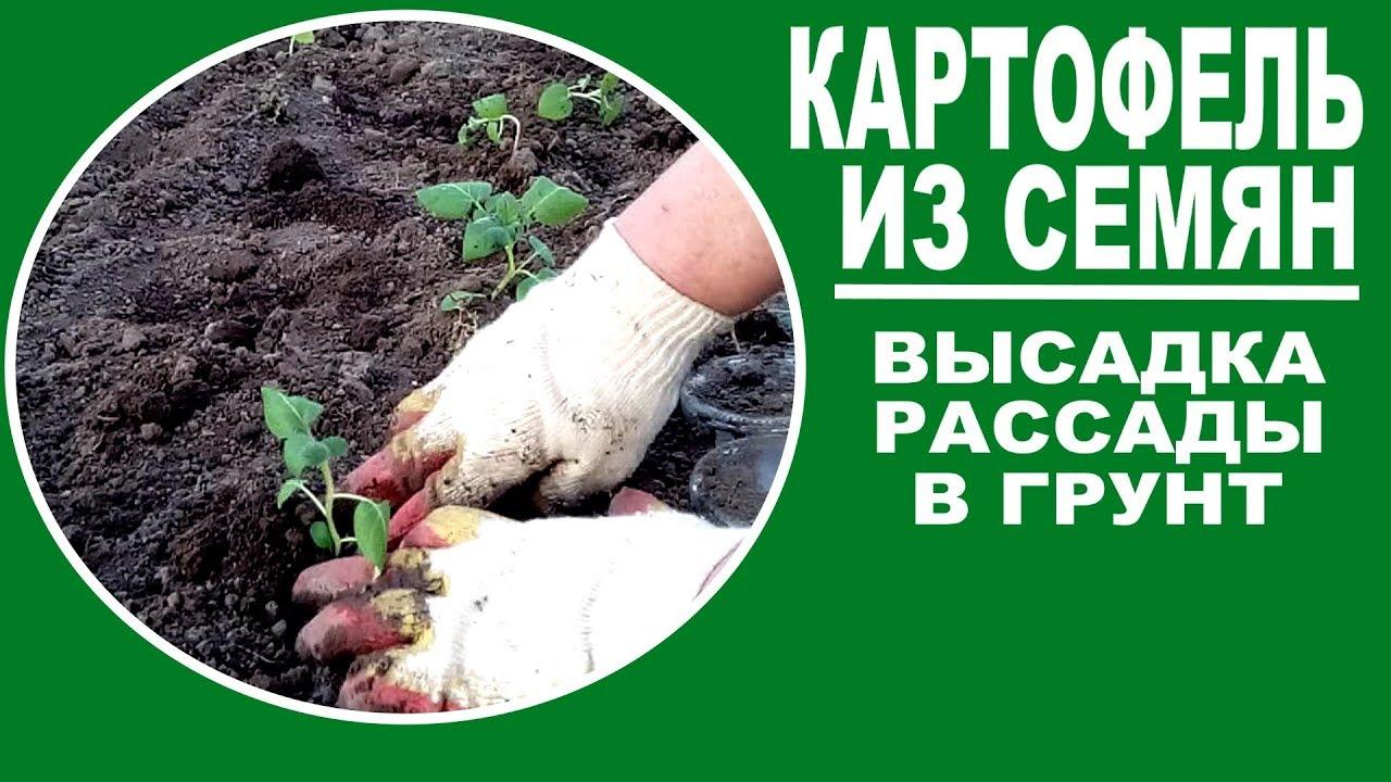 Как сажать картошку на рассаду 57