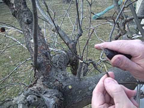 Grafting Apple Trees