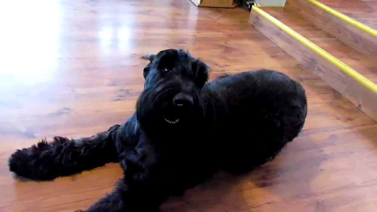 Dog Schnauxwer Black